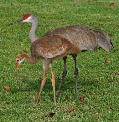 640px-Grus_canadensis
